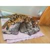 Бенгальские котята с шикарными подарками