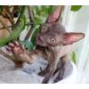 Элитные котята корниш рекс редкого шоколадного окраса