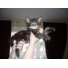 Элитные котята мейн - кун