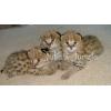 Сервал,  Саванна,  оцелот,  Маргей,  гепарда и бенгальские котята на продажу