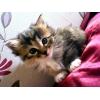 Продаются котята Курильского бобтейла!